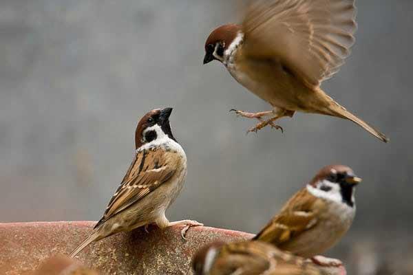 Mơ thấy chim sẻ