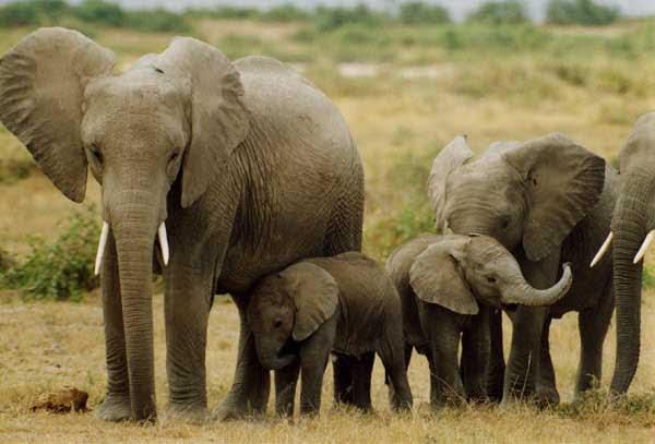 Mơ thấy voi đánh con gì dễ trúng