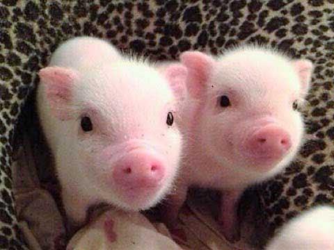 Mơ thấy con lợn đánh con gì